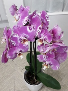 Picture of Orchidee241