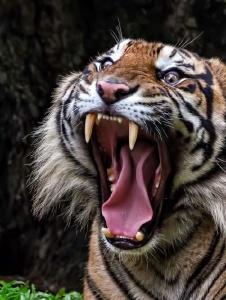 Picture of Tigresa543