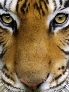 Picture of Tigre2100
